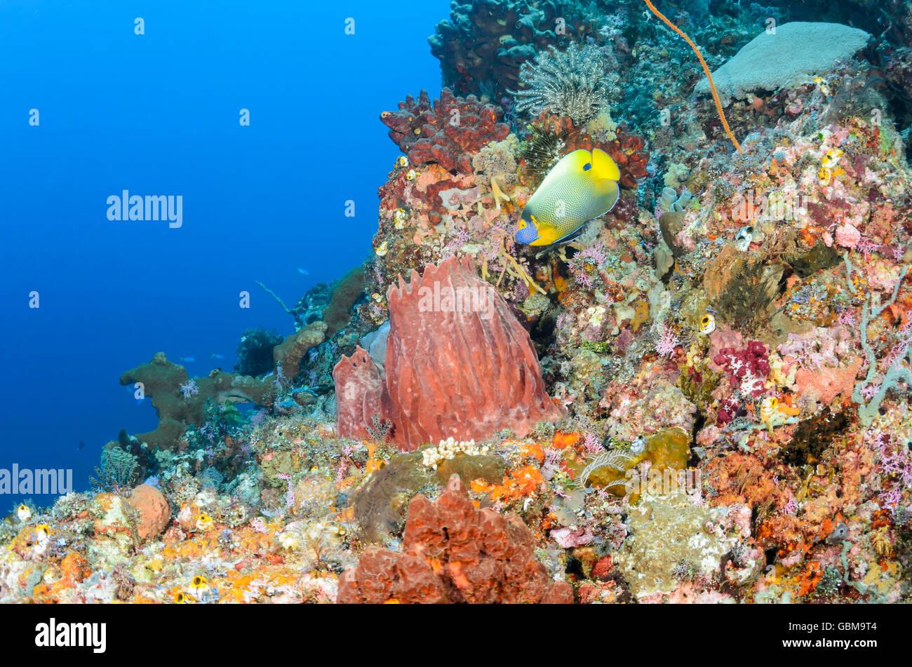 coral reef scene with Yellow-Mask angelfish, Pomacanthus xanthometopon, Ambon, Maluku, Indonesia, Pacific - Stock Image
