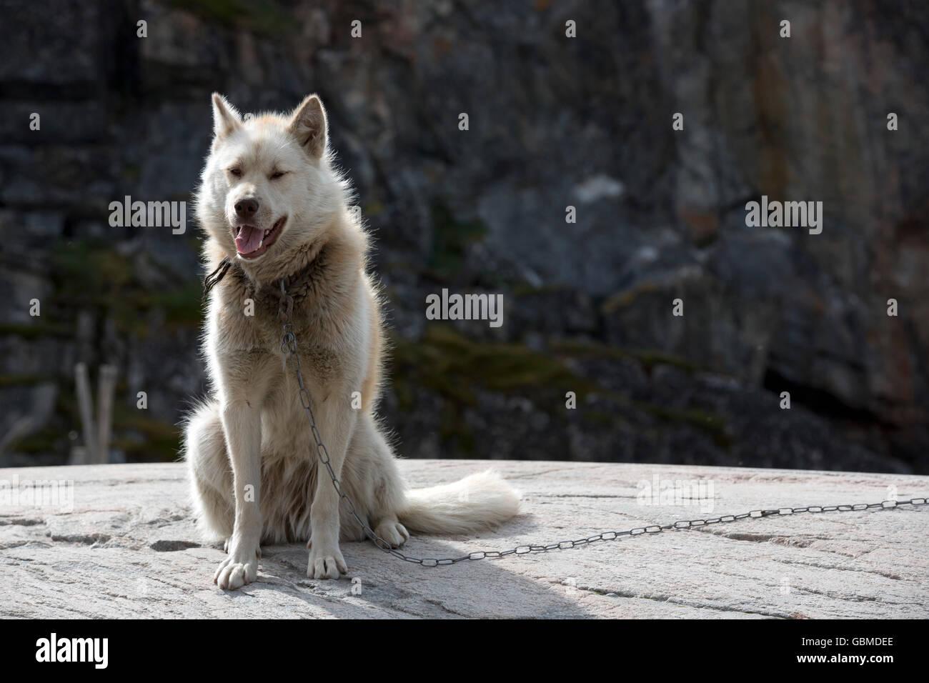 Sledge Dog, Ilulissat, Greenland - Stock Image