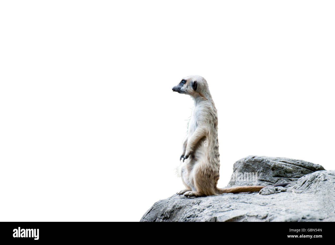 A Meerkat on stone - Stock Image