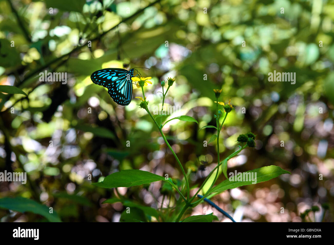 Butterfly in Tangkoko National Park. North Sulawesi. Indonesia - Stock Image