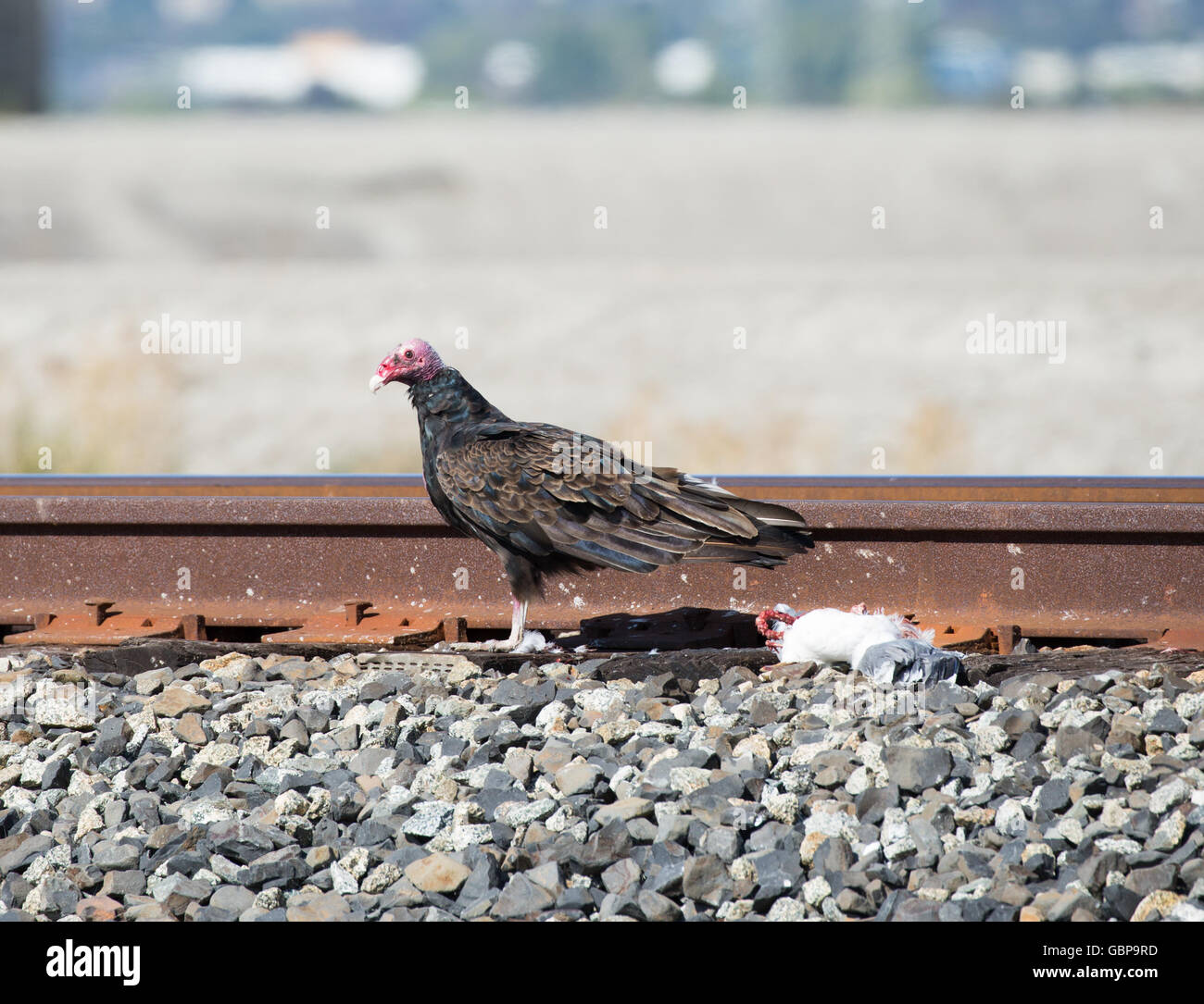 Bird with prey. Turkey Vulture - Cathartes aura, Alviso, CA - Stock Image