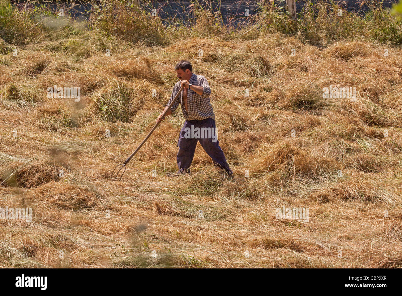 Spanish farmer hay making using traditional methods of turning the hay by hand with a pitch fork in Potes northern Stock Photo