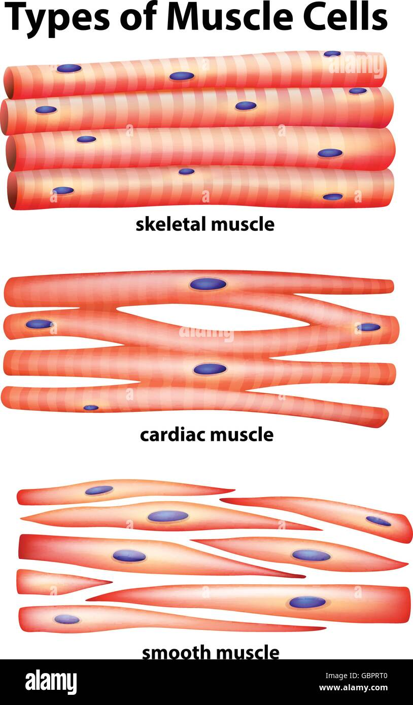 Muscle Cells Stock Photos Muscle Cells Stock Images Alamy