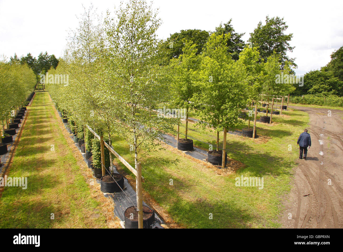 A nursery worker walks amongst some of the 2000 trees at Hillier Nurseries near Romsey, Hampshire which will form Stock Photo