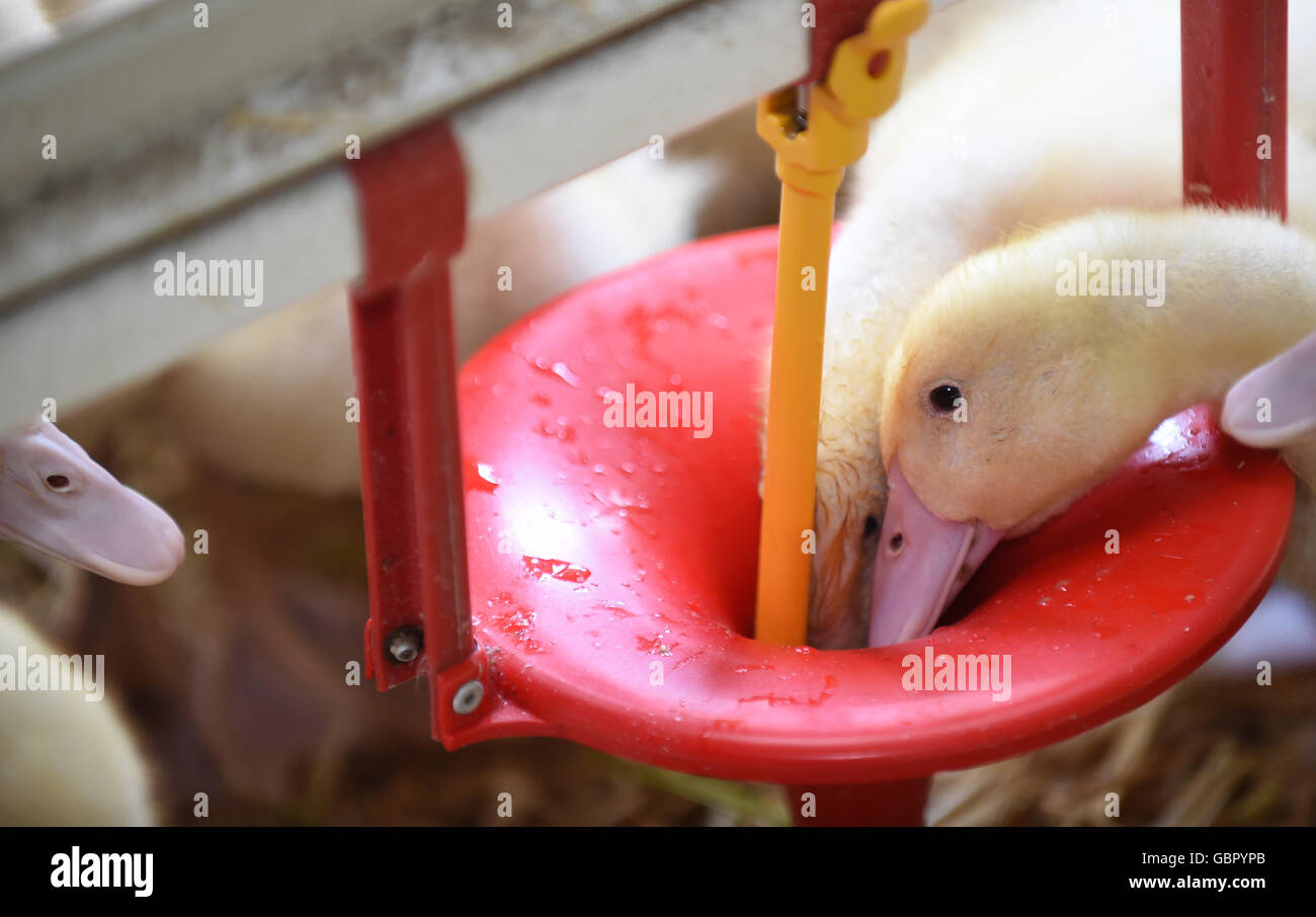 Lindern, Germany. 07th July, 2016. Young ducks drink water from a funnel system in the stall of a duck breeder in - Stock Image