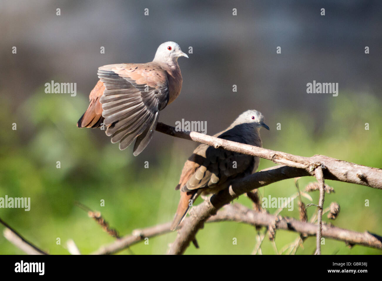 Asuncion, Paraguay. 7th July, 2016. A pair of Ruddy ground dove (Columbina talpacoti) sunbathes, one of them with Stock Photo
