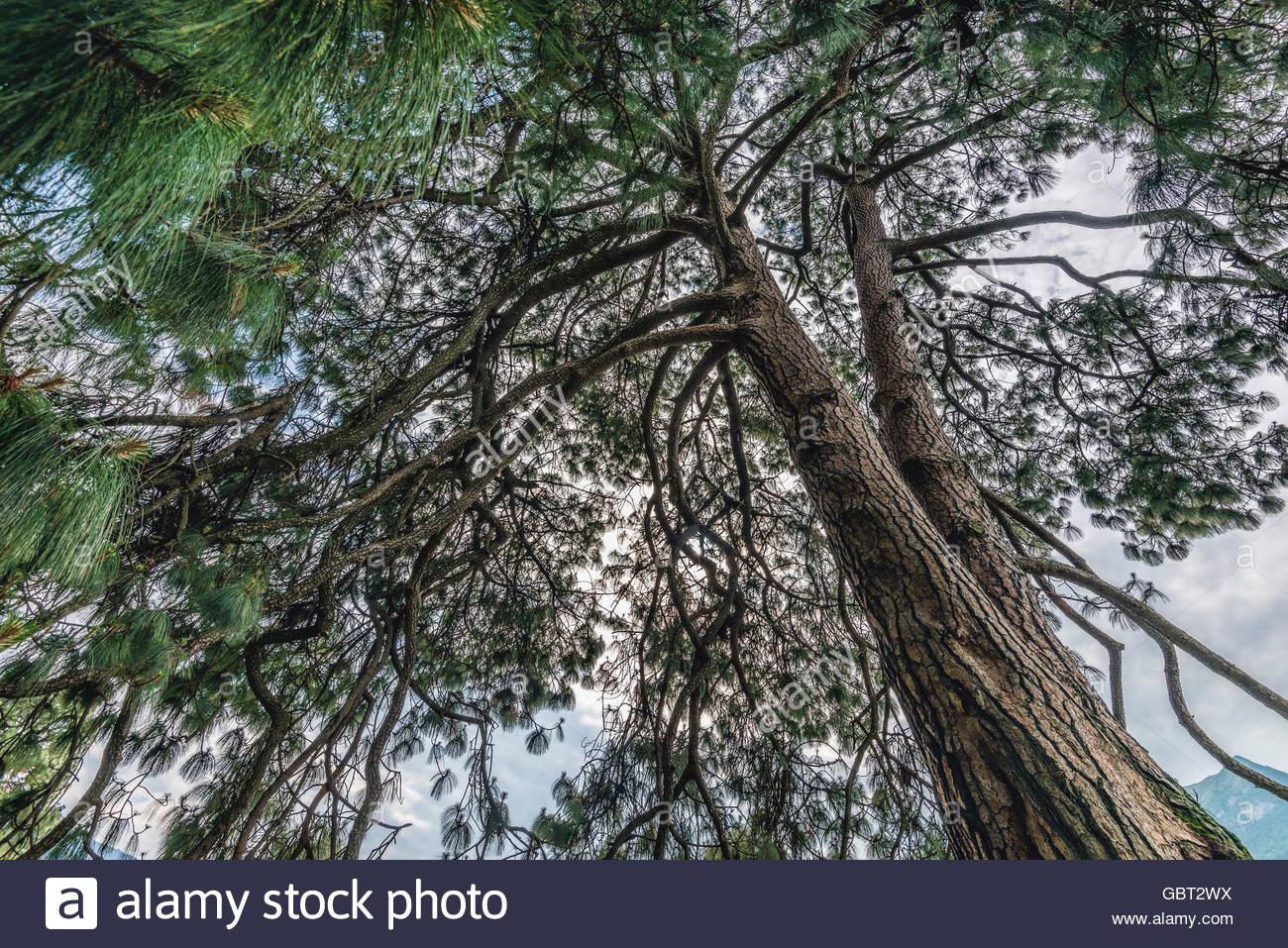 Closeup of a Pinus devoniana (Michoacan Pine), a species of conifer in the Pinaceae family, Garden Villa Melzi, - Stock Image