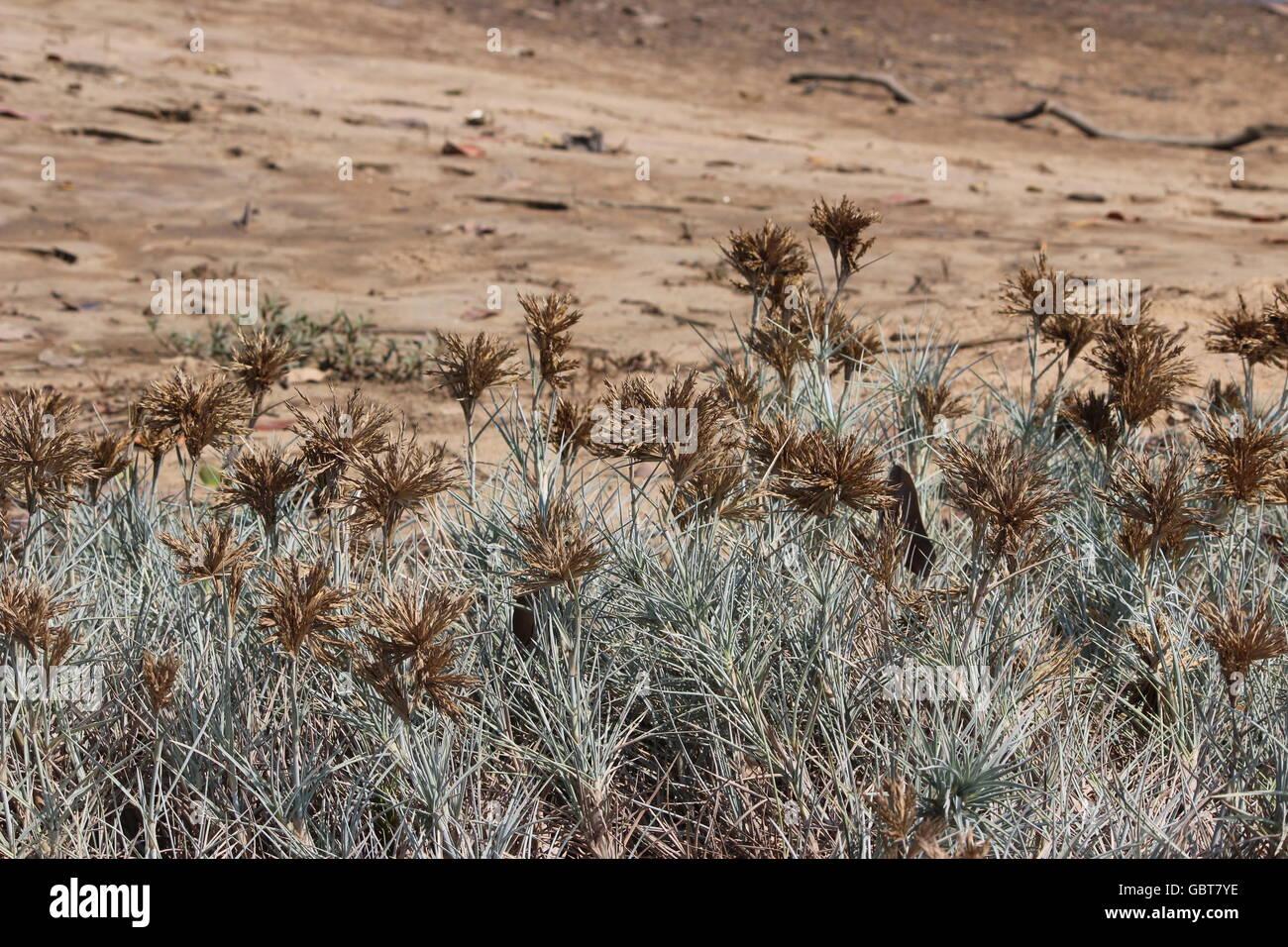 Beach Shrubs or Dry flowers on the Beach - Stock Image