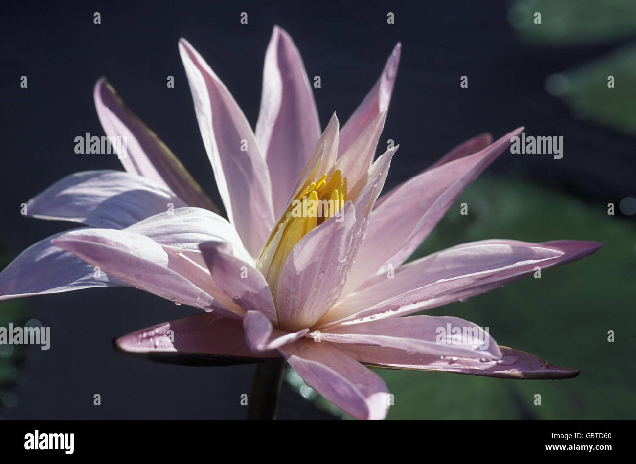 A Lotus Flower In A Japanese Parc In The City Centre Of Tokyo In