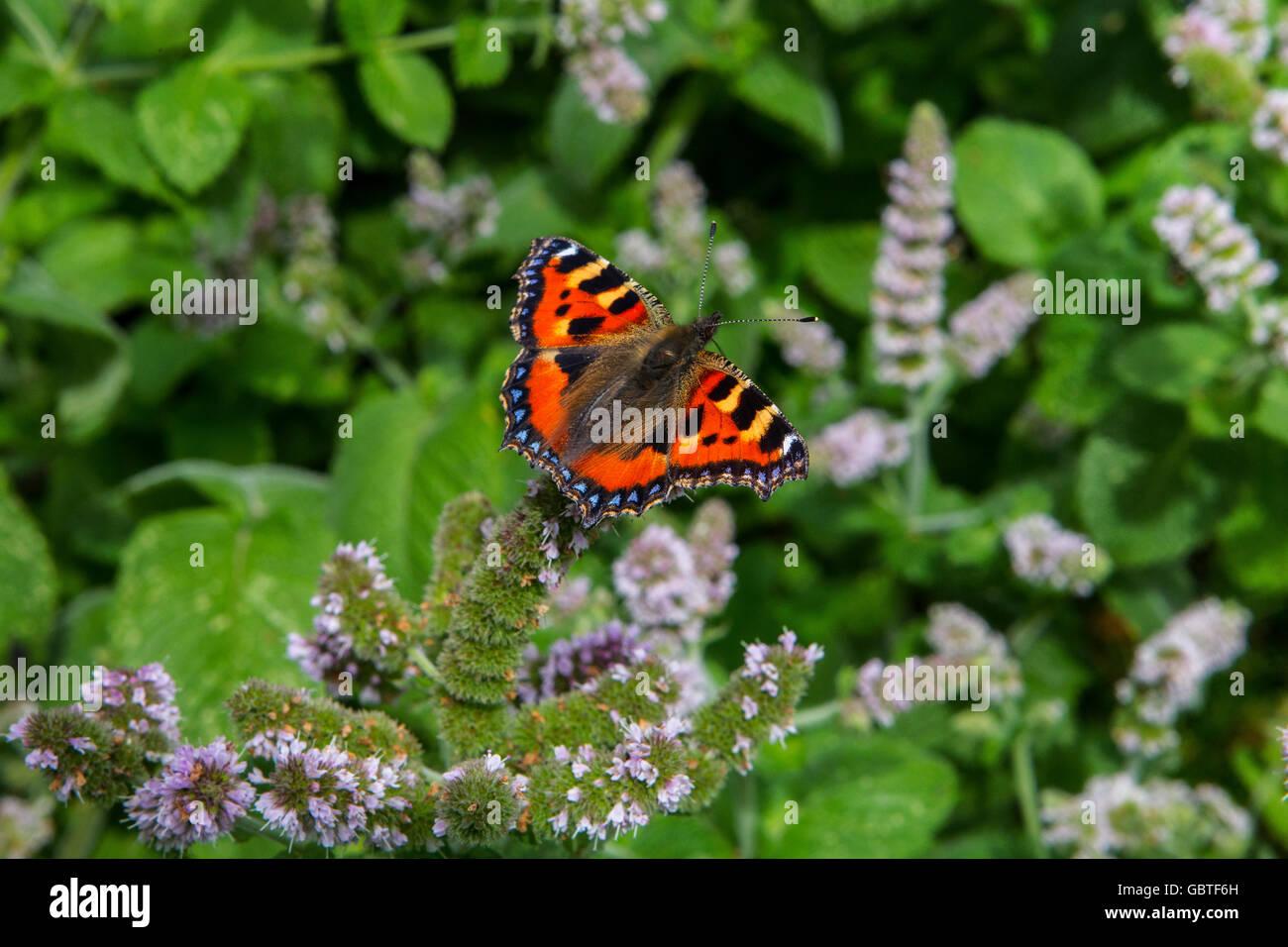 Nymphalidae    Small Tortoiseshell         Aglais urticae - Stock Image