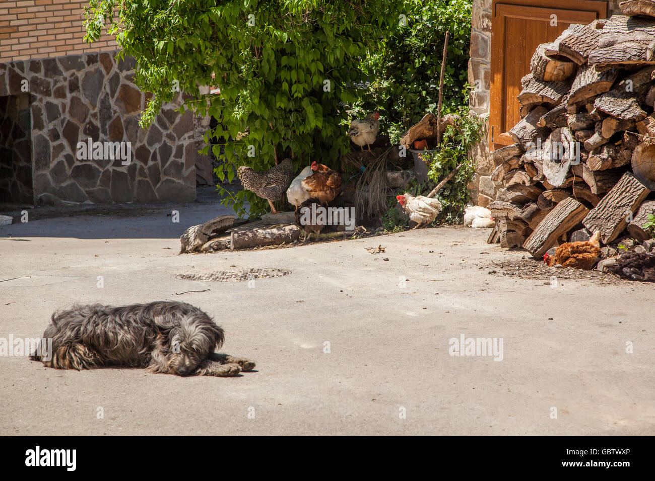 Dog asleep in a farmyard with Chickens running free by log pile - Stock Image