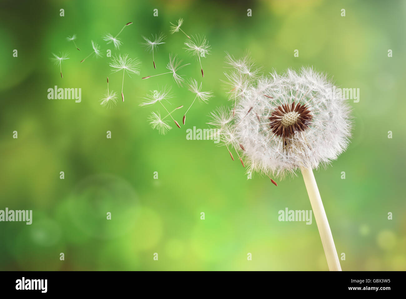 Dandelion seeds in the morning sunlight blowing away across a fresh green background - Stock Image