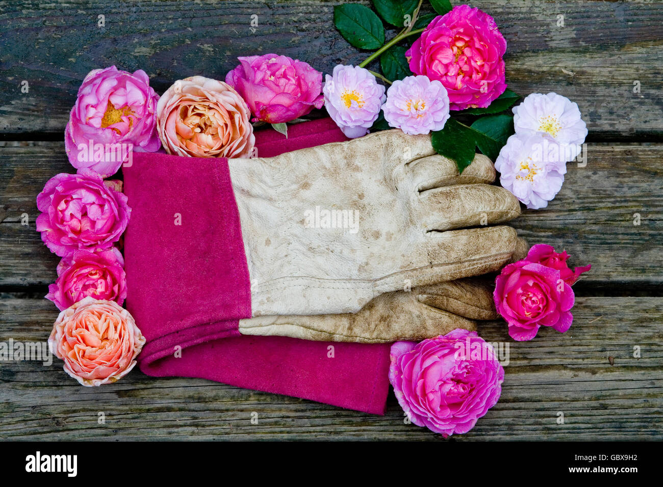 gardening gloves surrounded by roses - Stock Image