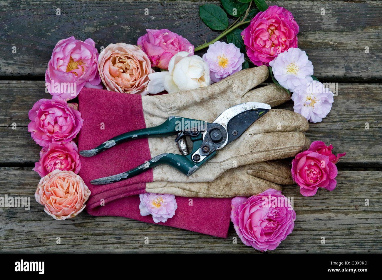 Gardening gloves surrounded by rose heads - Stock Image
