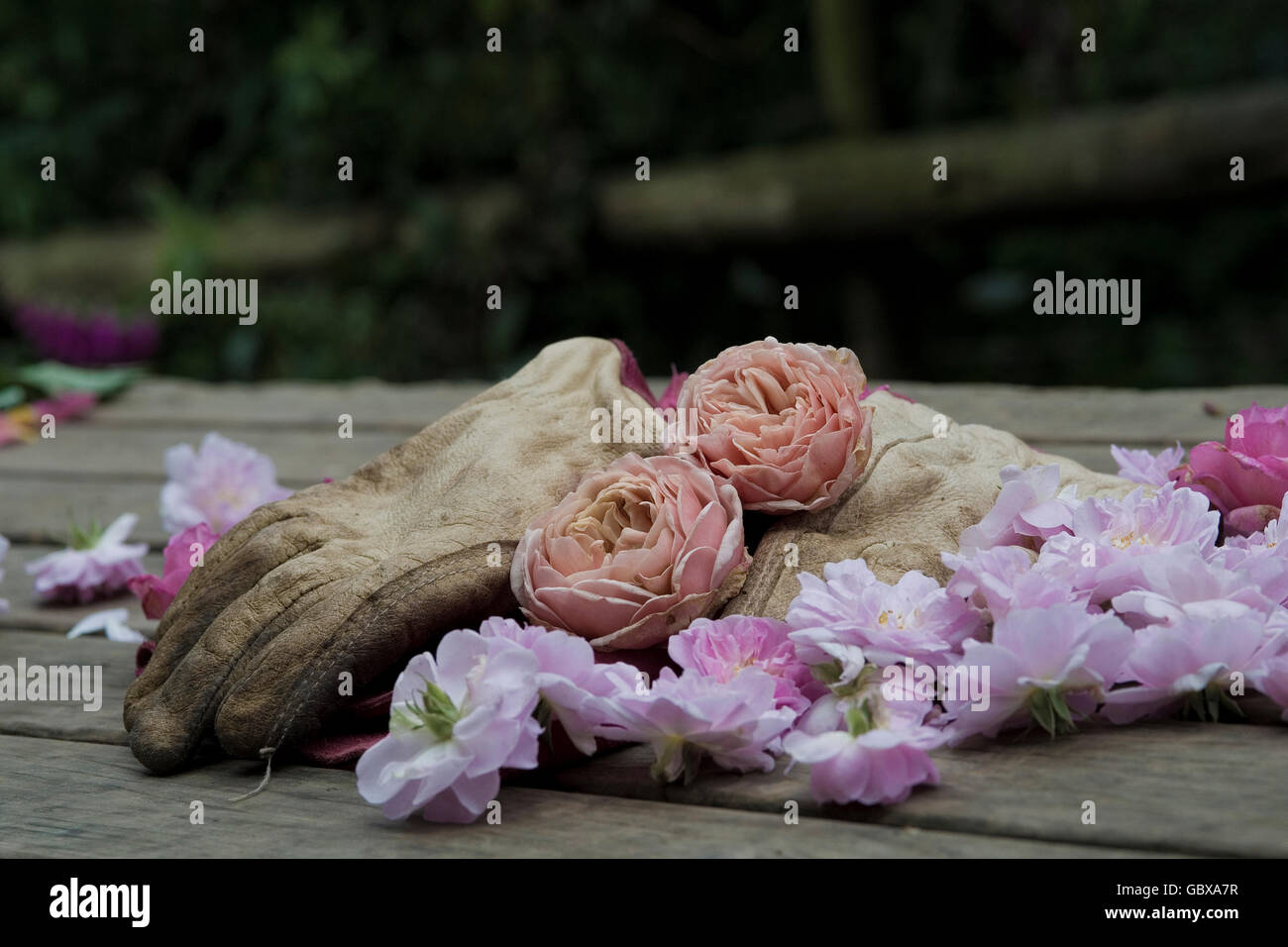 gardening gloves left from cutting the heads off roses - Stock Image