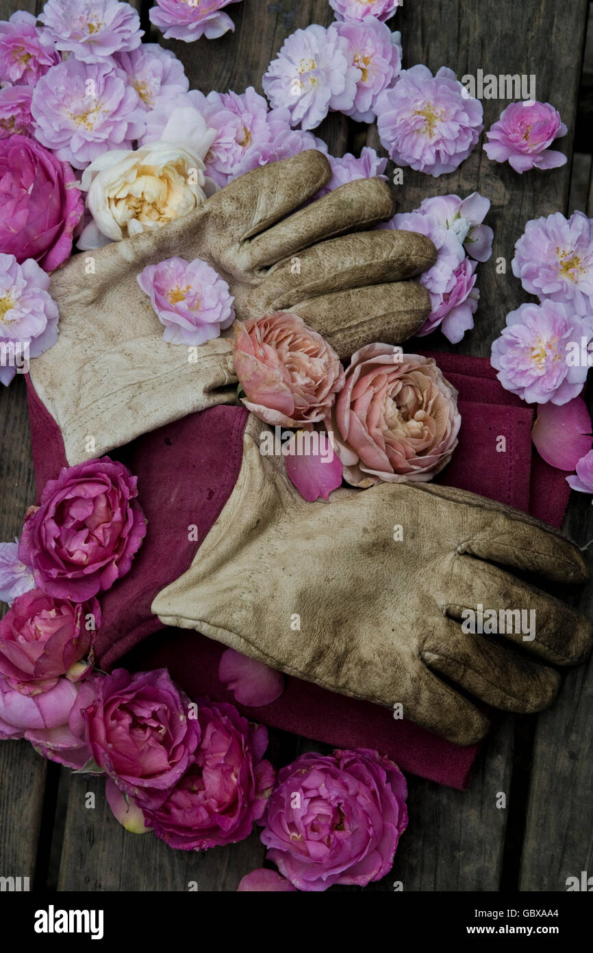 gardening gloves and rose heads - Stock Image