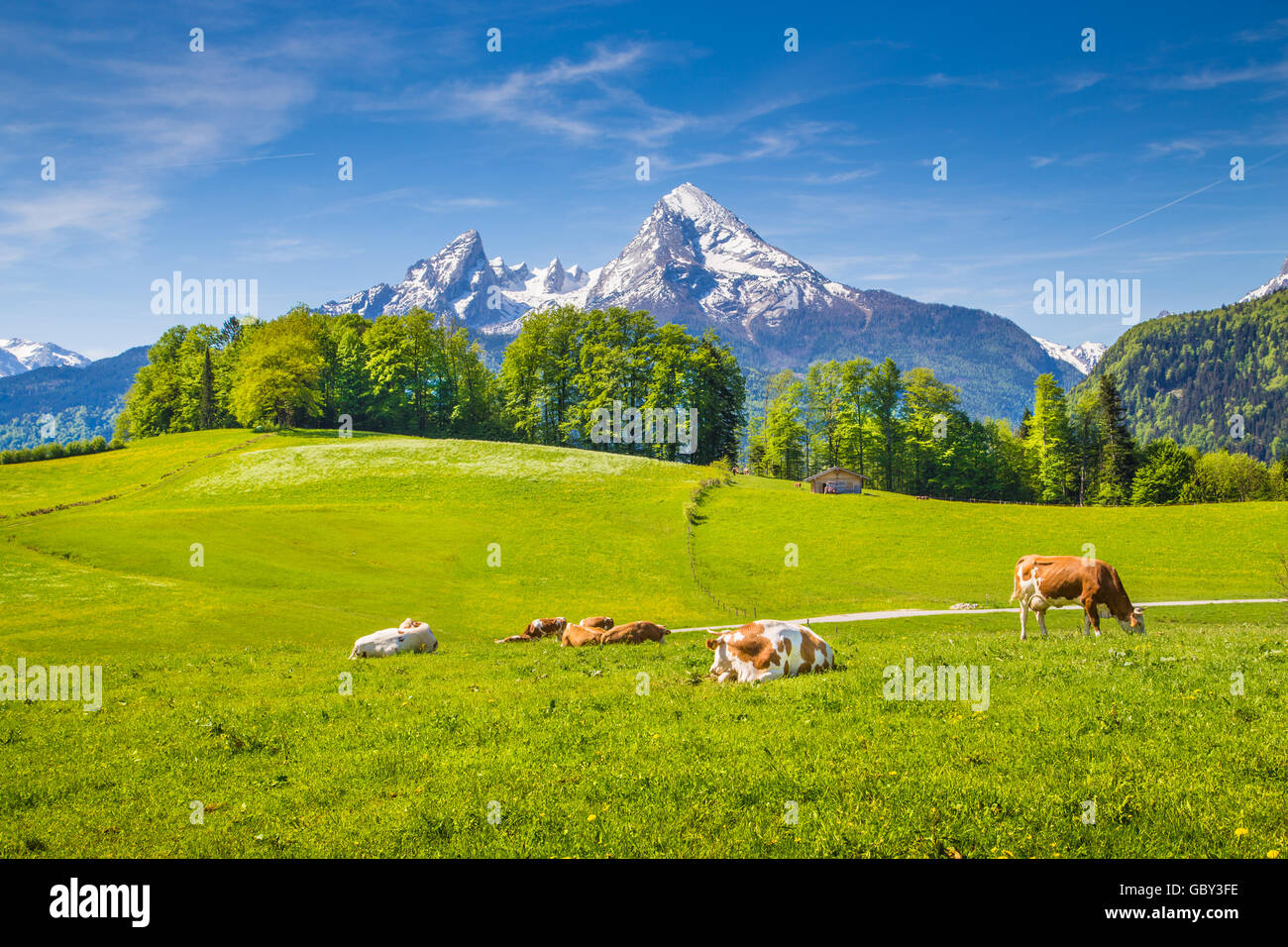 Idyllic landscape in the Alps with cows grazing on fresh green mountain pastures with snowcapped mountain tops in Stock Photo