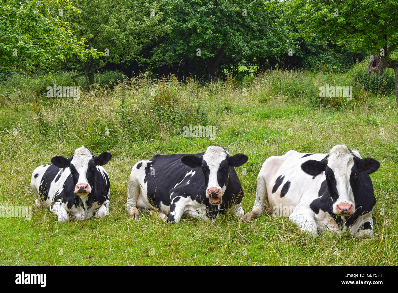 Three black-and-white dairy cows resting and ruminating on green pasture - Stock Image
