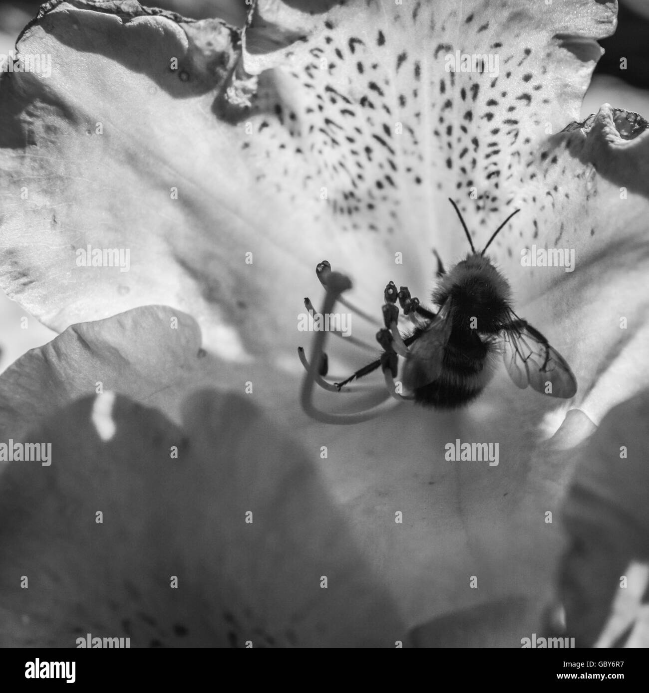 Bee collecting inside a Rhododendron flower close up black and white - Stock Image