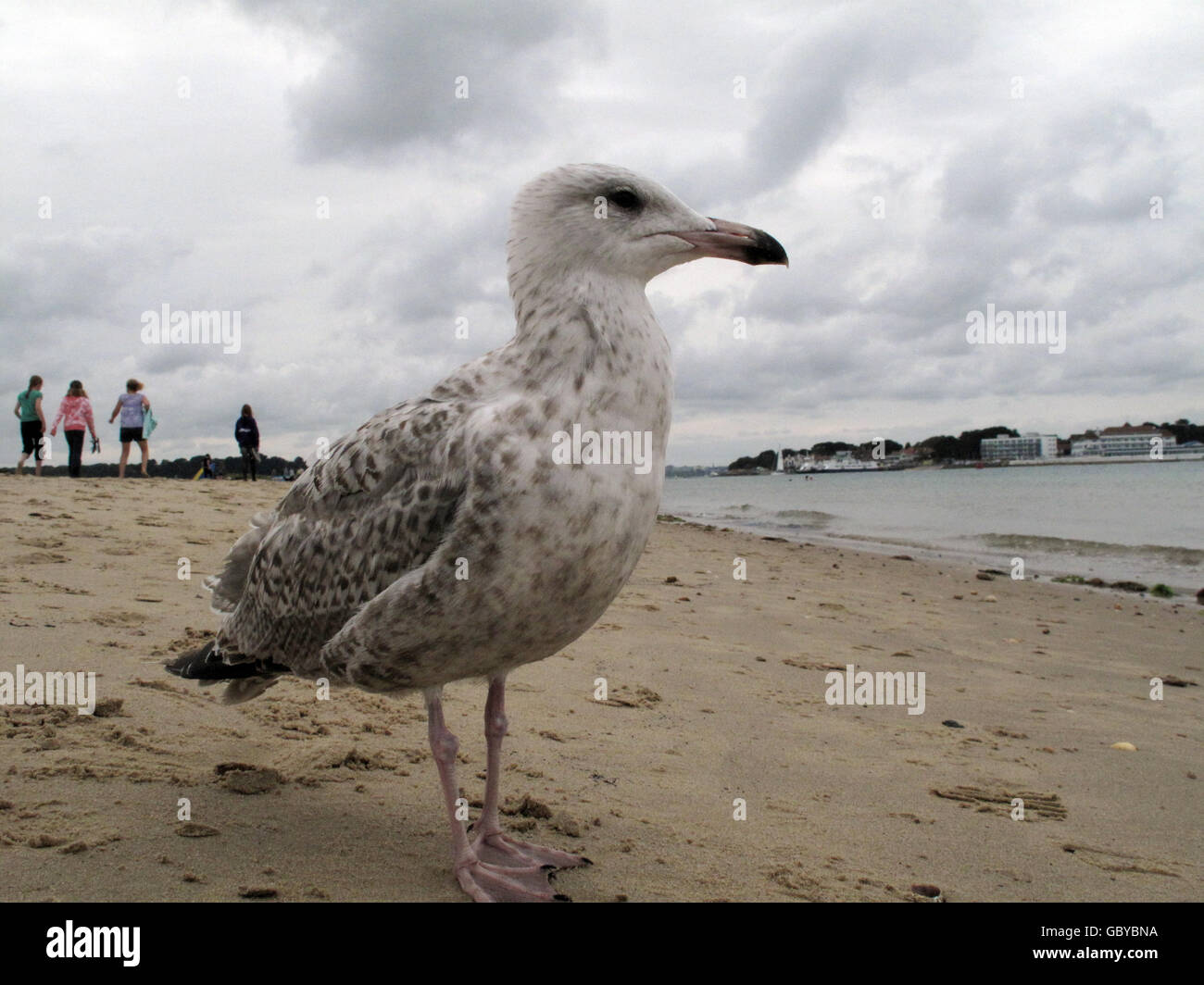 Baby Seagull Stock Photos & Baby Seagull Stock Images - Alamy