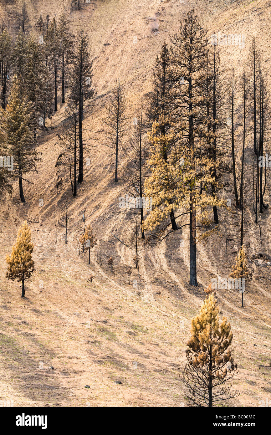 Burned pine trees on charred hillside landscape with soil erosion after a natural disaster forest fire wildfire - Stock Image