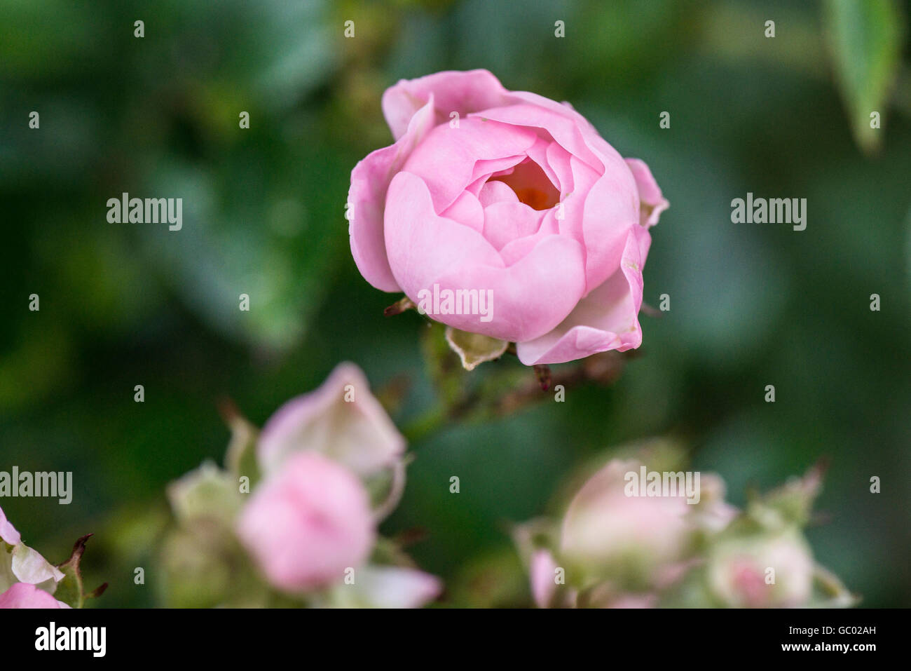 A close up of a pink flower of a fairy shrub rose - Stock Image