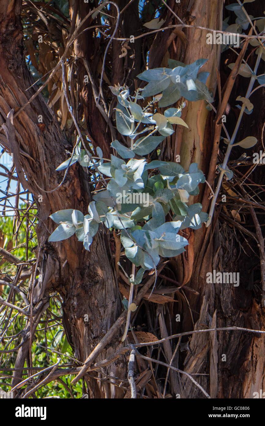 Eucalyptus Globulus Tasmanian Blue Gum - Stock Image