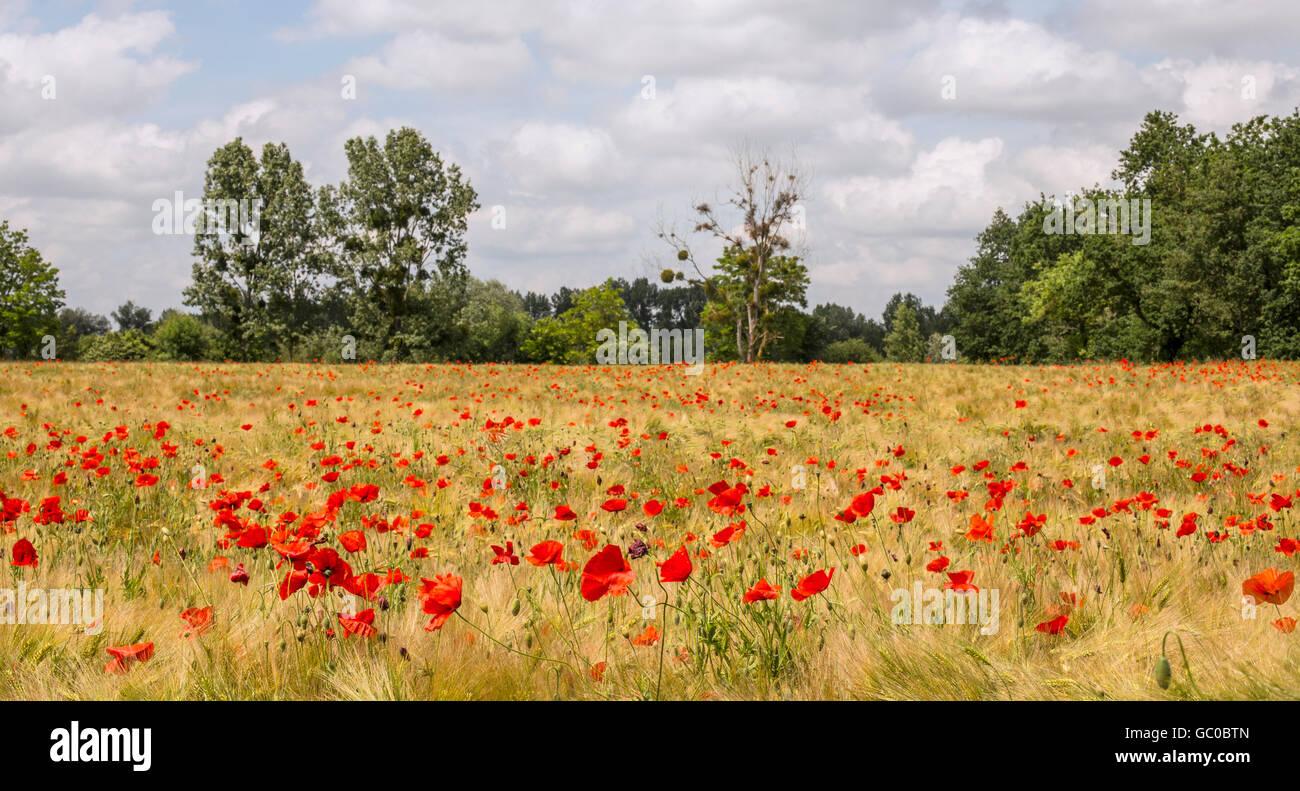 Poppy field in Loire Valley France - Stock Image
