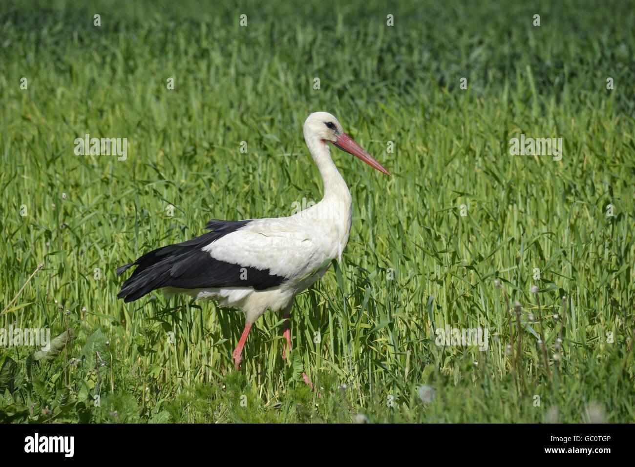 White Stork - Ciconia ciconia Stock Photo