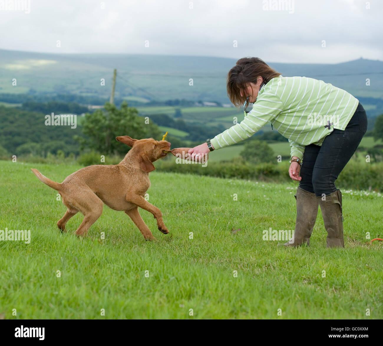 gundog not letting go of a dummy, bad gundog - Stock Image