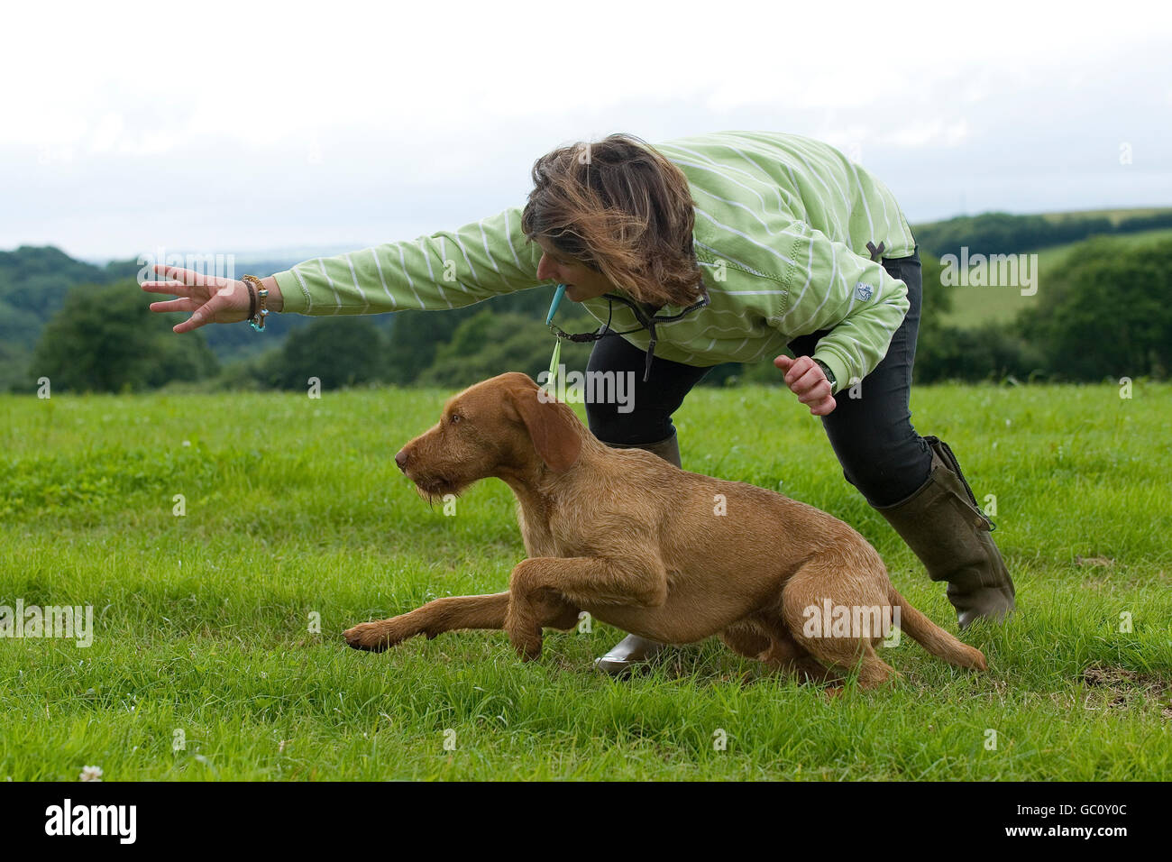 person sending their dog (hungarian wirehaired vizsla) to retrieve a dummy - Stock Image