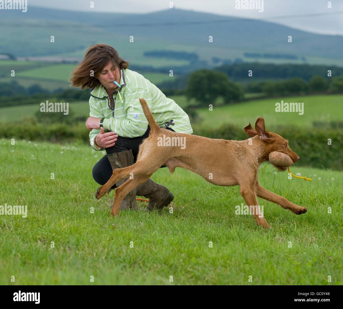 Gundog training - Stock Image