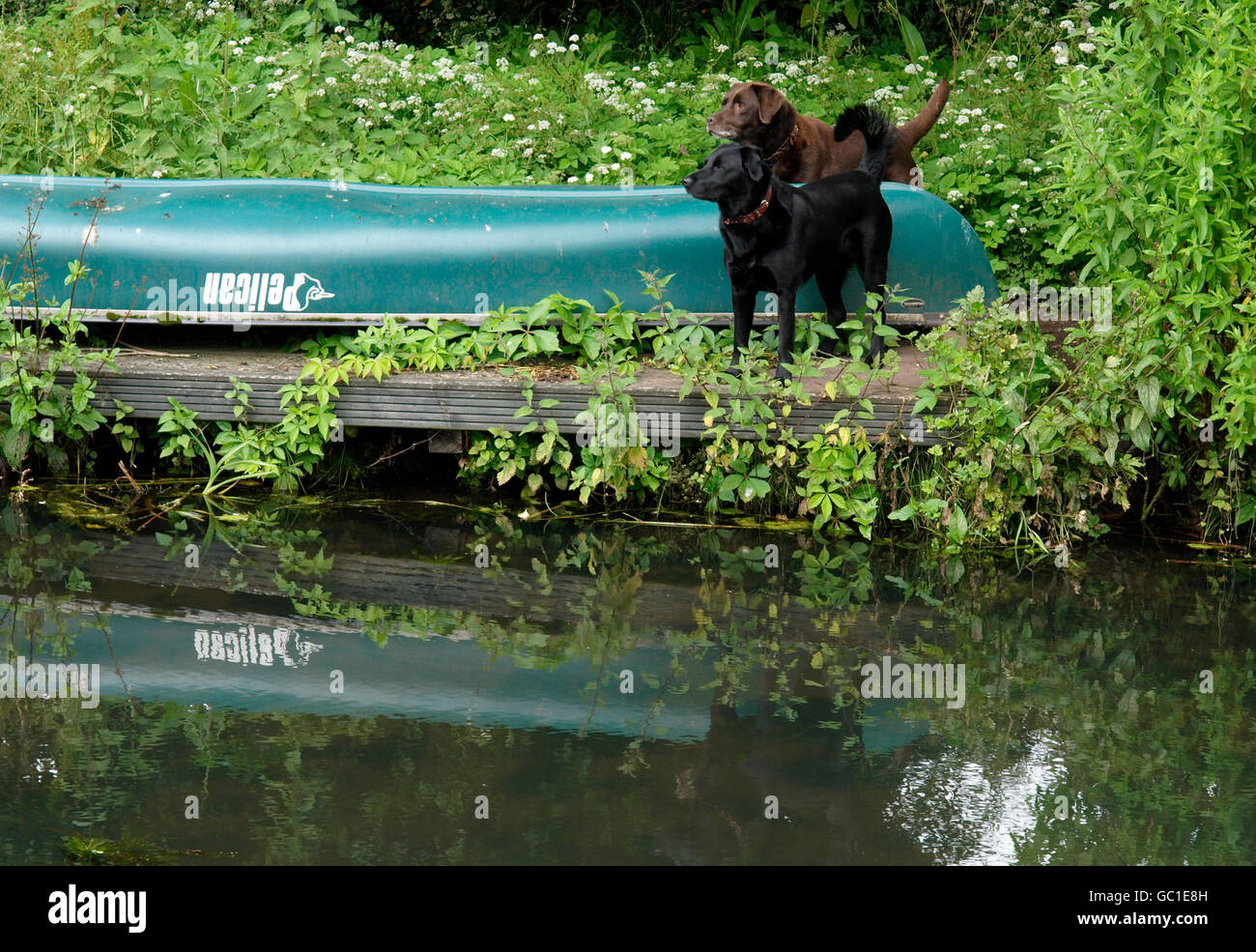 Two dogs standing on a jetty along the Great Western Canal, Devon, UK - Stock Image