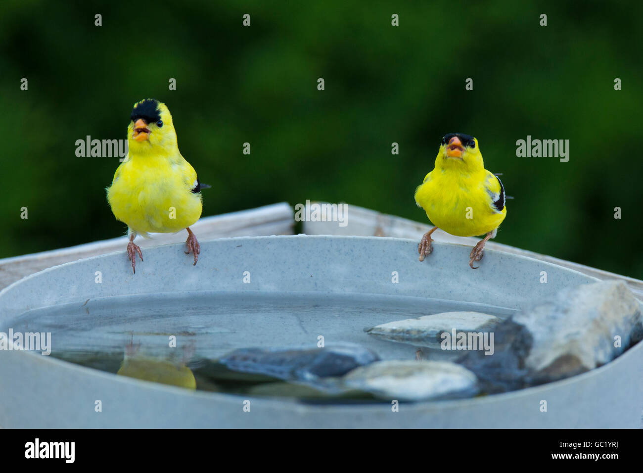 american goldfinch adaptations
