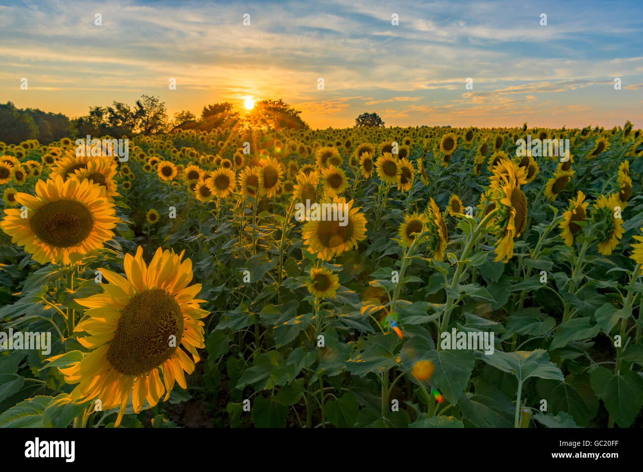 Sunset over a field of sunflowers - Stock Image