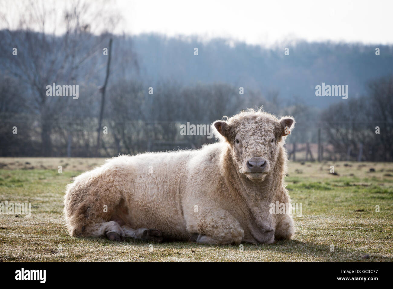 Imposing Galloway cattle breeding bull (Bos primigenius taurus) with blond pigmentation, appropriate animal welfare, - Stock Image