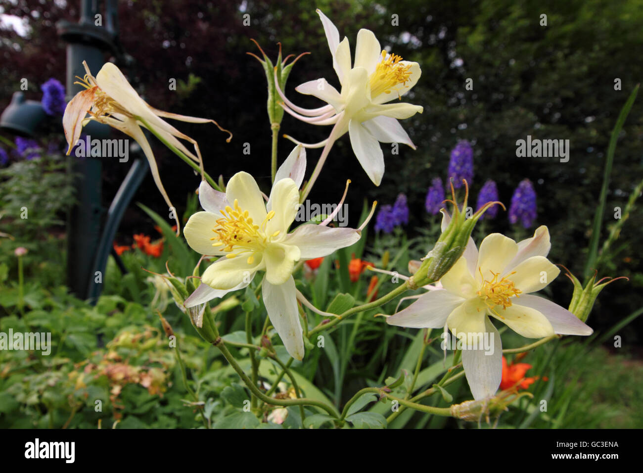 White Yellow Flowers Columbine Aquilegia Stock Photos White Yellow