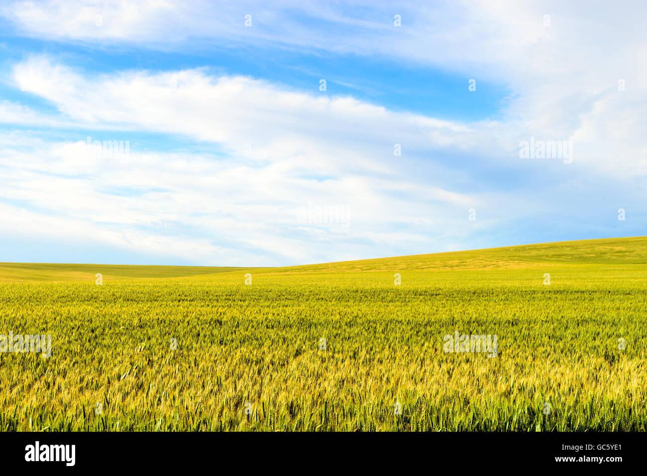 Green wheat field in Barossa Valley, South Australia - Stock Image