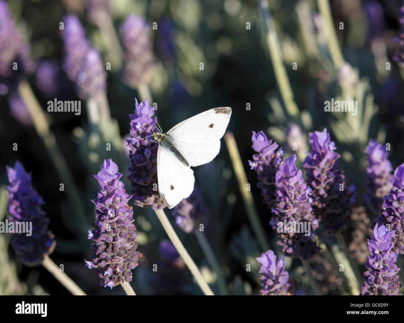 A   pretty white cabbage moth  (Pieris rapae)  gathers pollen from  fragrant purple  lavender  spiked flowers in - Stock Image