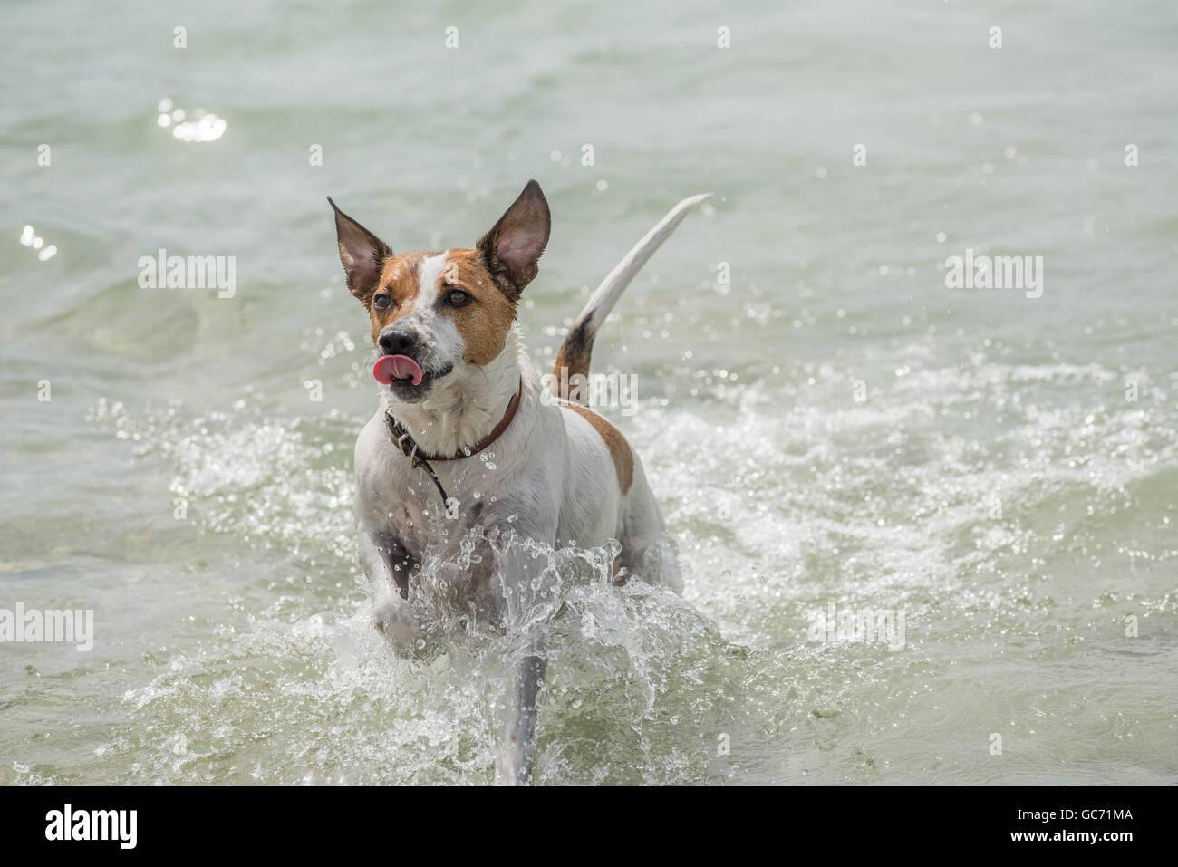 Danish-Swedish Farmdog playing fetch. - Stock Image
