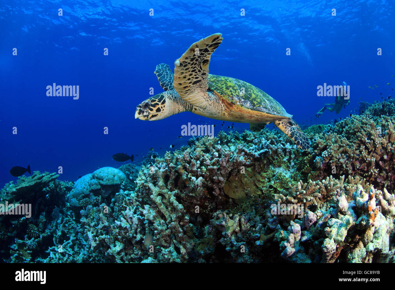 Hawksbill sea turtle (Eretmochelys, imbricata) in the tropical coral reef - Stock Image