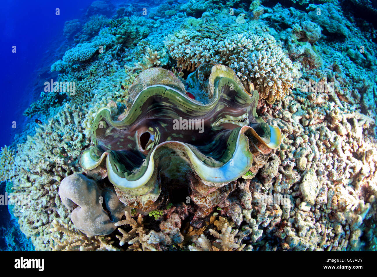 Squamosa clam in the tropical coral reef - Stock Image