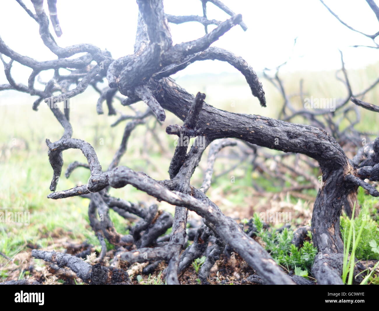 Unusual dead plants twisting and turning - Stock Image