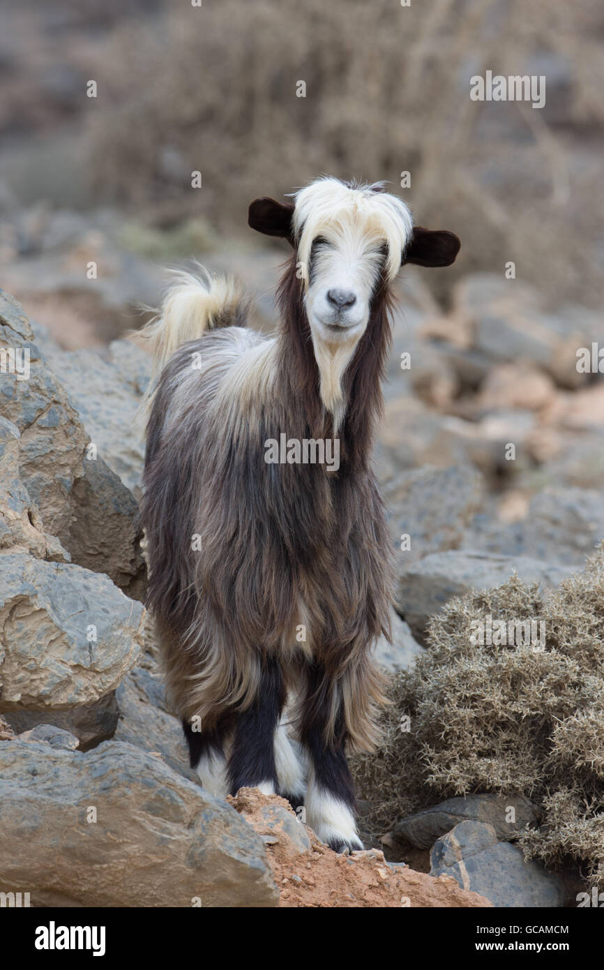 Mountain goat in Jebel Shams, Sultanate of Oman - Stock Image