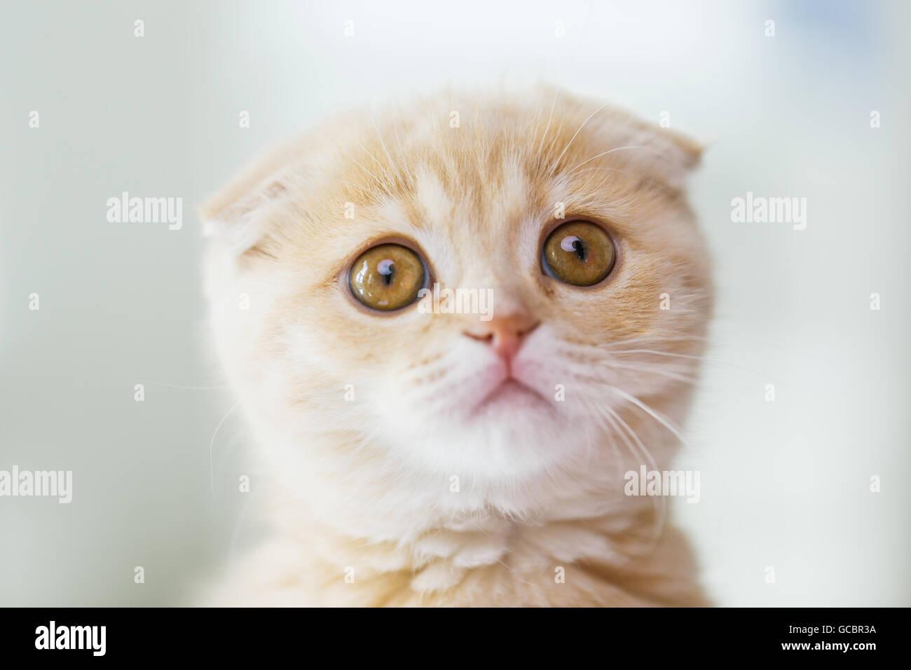 close up of scottish fold kitten - Stock Image