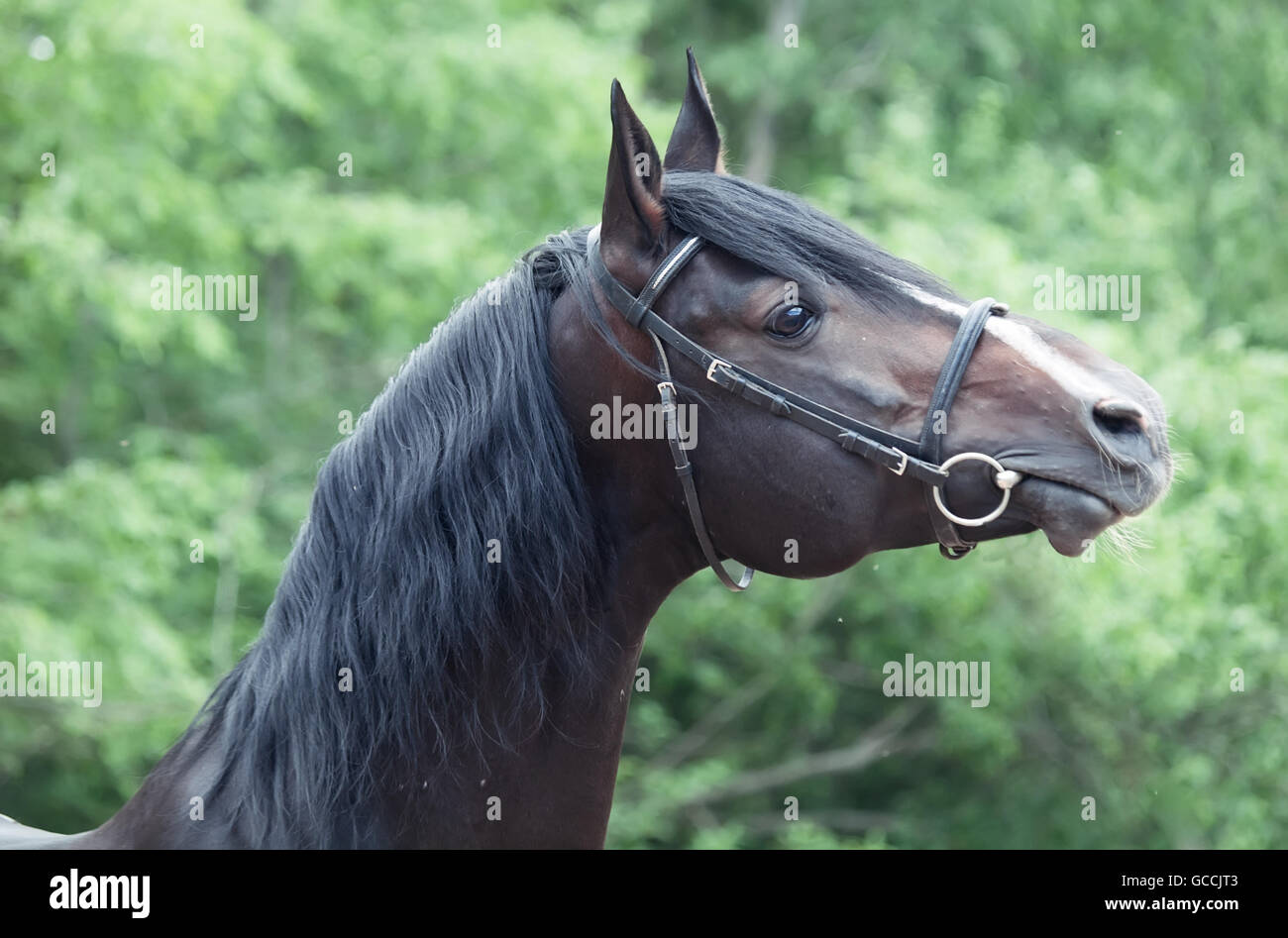 Portrait of beautiful breed sportive stallion - Stock Image