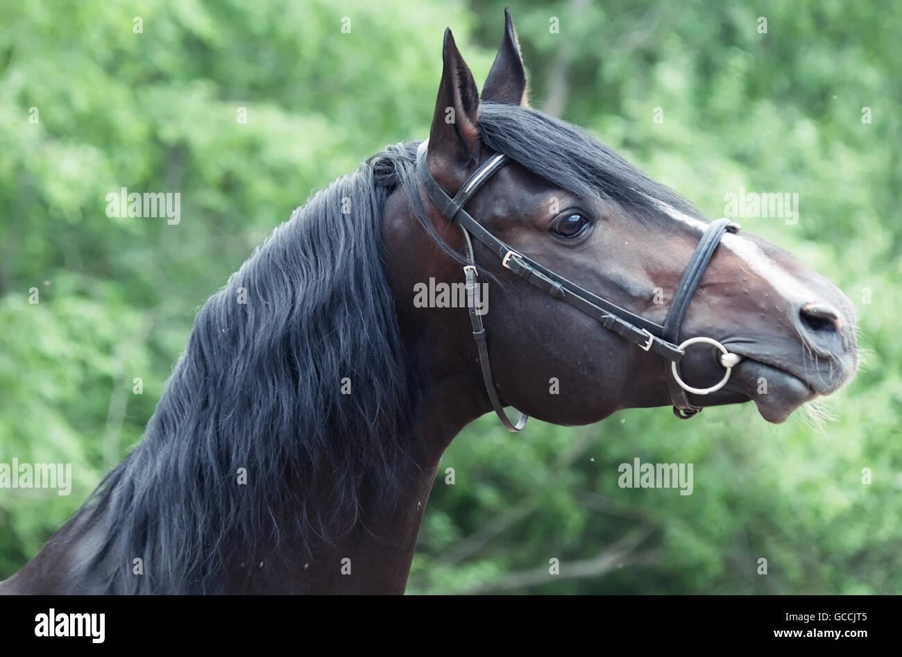Portrait of beautiful breed sportive stallion - Stock Image