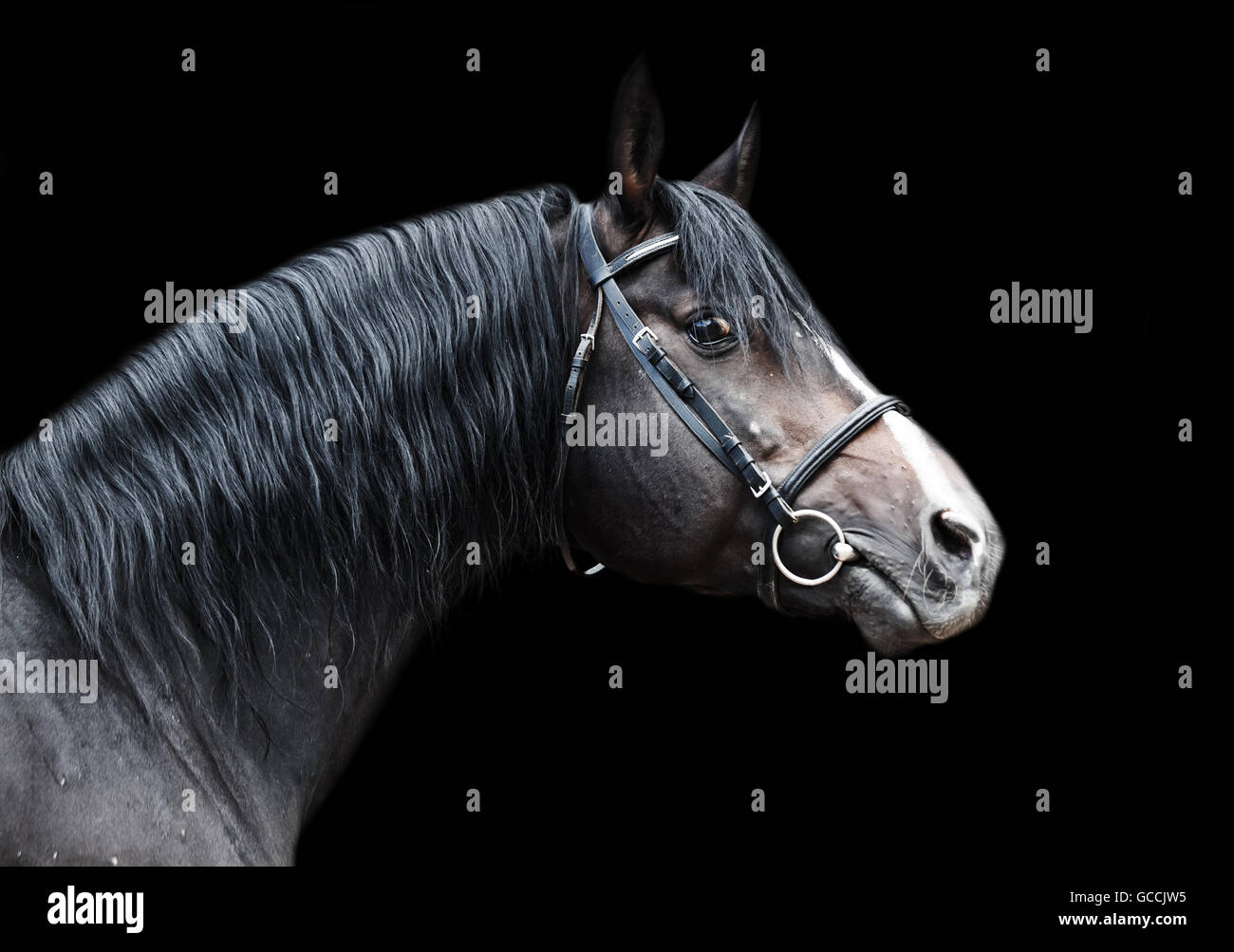 Portrait of beautiful breed sportive stallion at black background - Stock Image