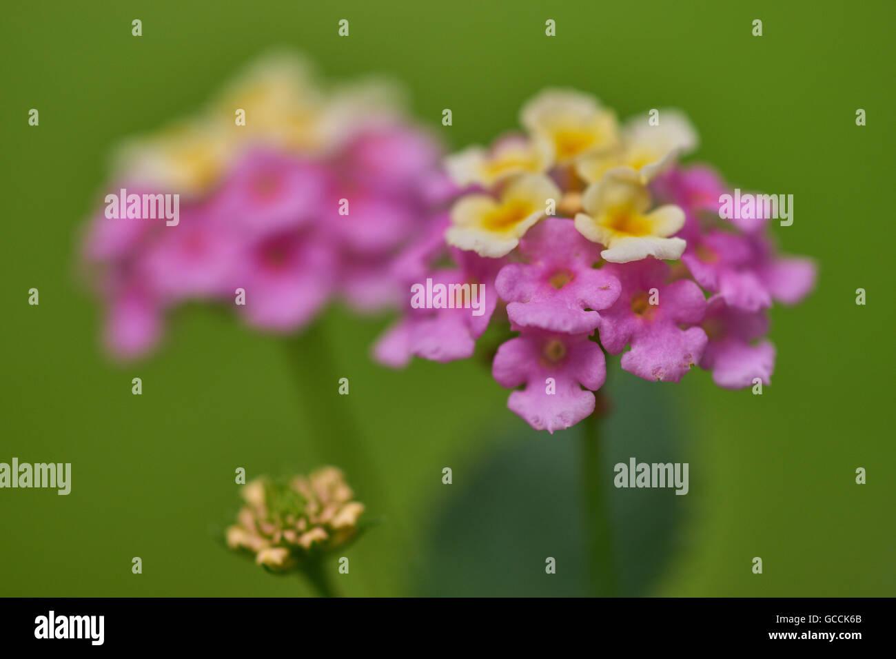 Lantana camara wild white-red-big-sage tickberry flowers close up Stock Photo