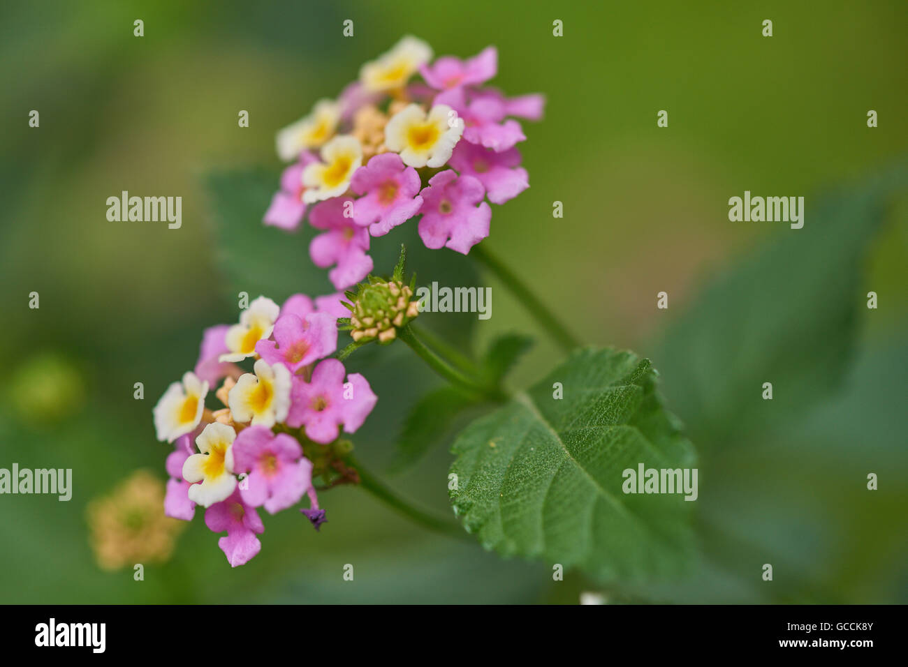 Lantana camara wild white-red-big-sage tickberry flowers close up Stock Photo
